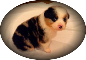 blue merle aussies, australian shepherd, aussies, puppy, for sale, Arkansa, AR