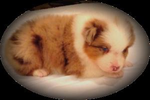 blue merle aussies, australian shepherd, aussies, puppy, for sale, Arkansa, AR