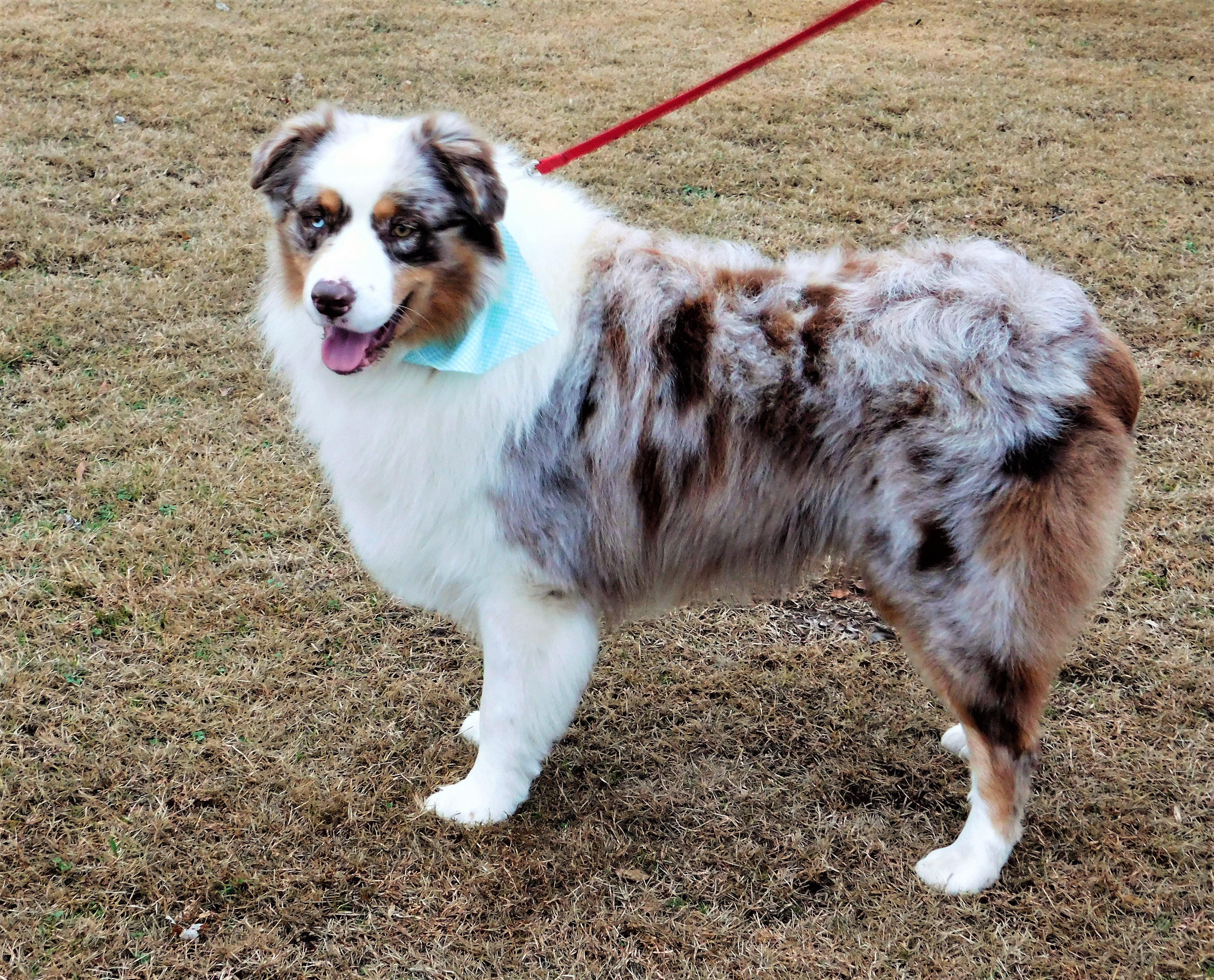 Purchase Merle Aussie Up To 65 Off