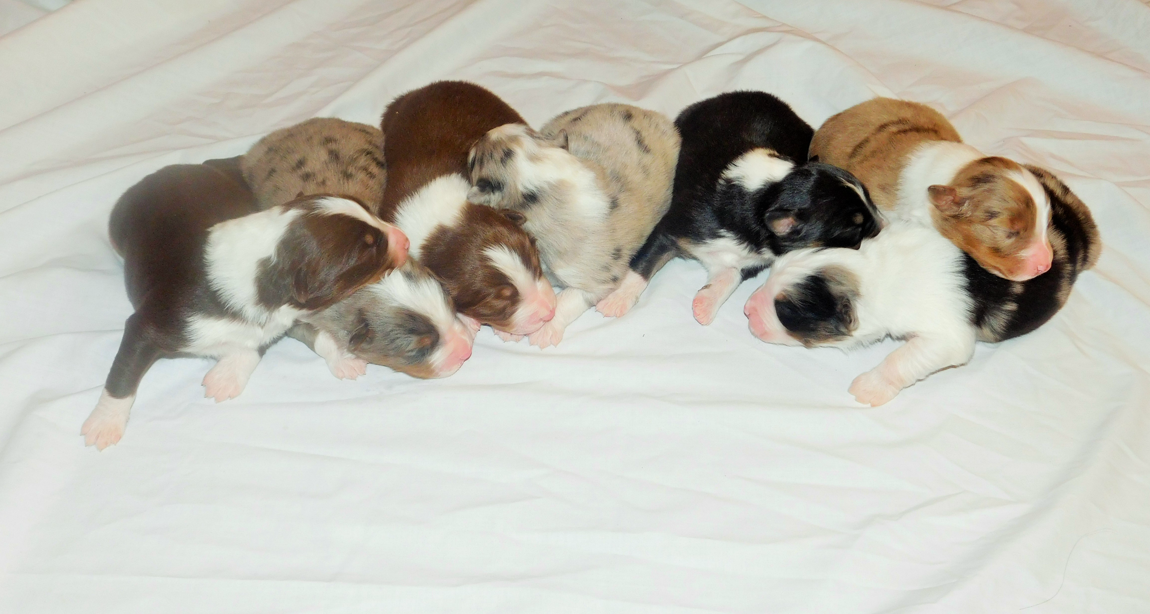 New Litter Born 10/28/15 Just in time for Christmas